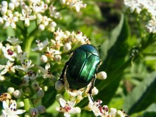 Green Beetle on a Bush